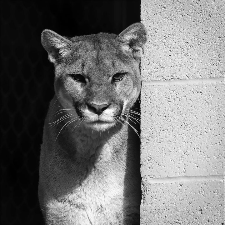 Coloma, one gorgeous mountain lion.. full res. on Flickr here