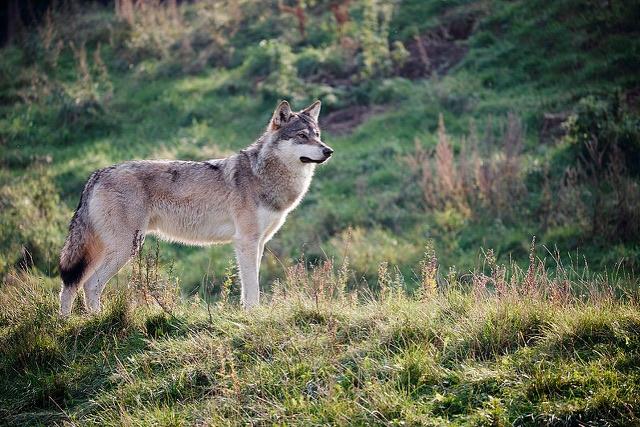 skandi wolf